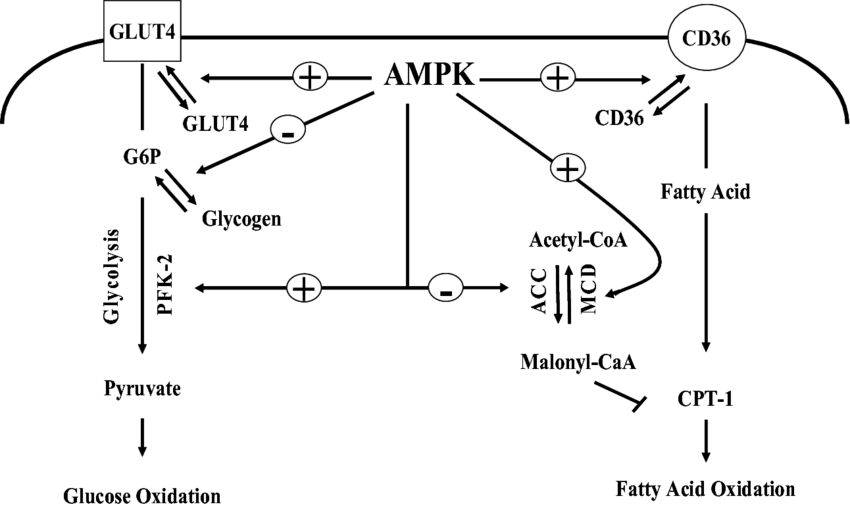 Effects of AMPK on metabolism of fatty acid and glucose