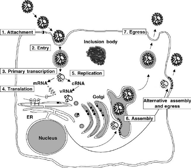 Replication cycle of viruses in the family Bunyaviridae