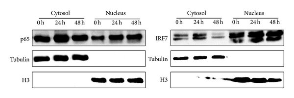 NF-κB1 and IRF7 upregulate CXCL10 expression. (a