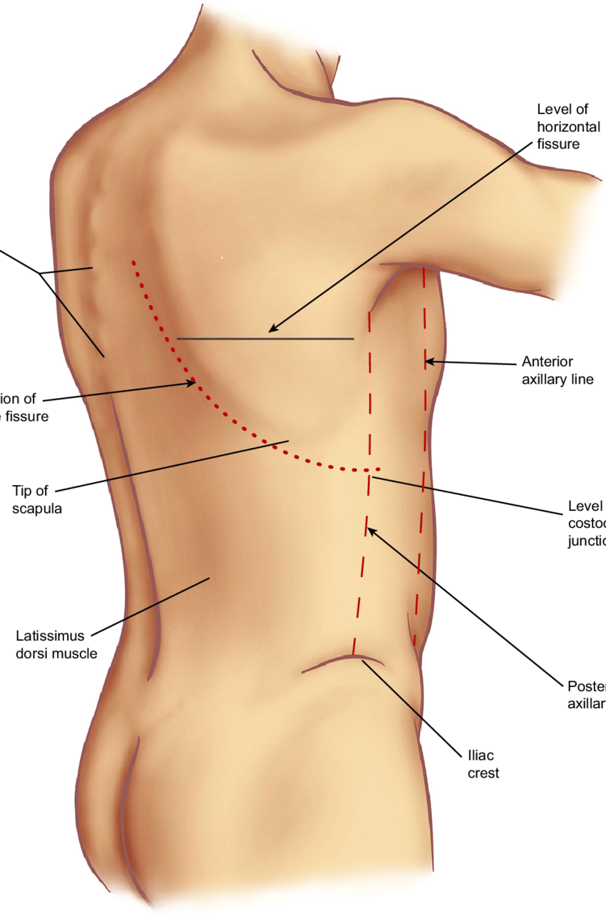 hight resolution of surface anatomy of the back note that the origin of the right oblique fissure is