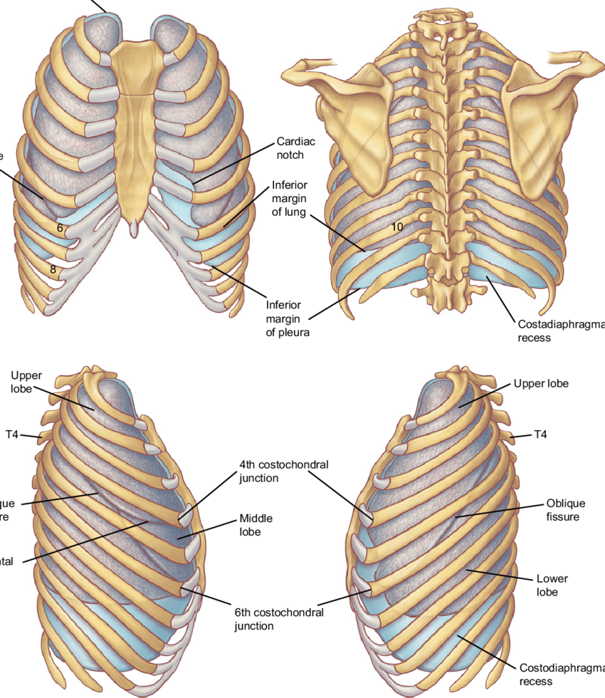 hight resolution of  a b surface projections of the pleurae and lungs