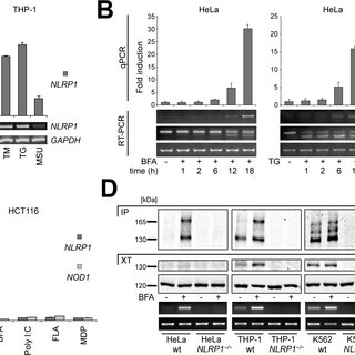 Atf4 but not Xbp-1s stimulates NLRP1 gene expression