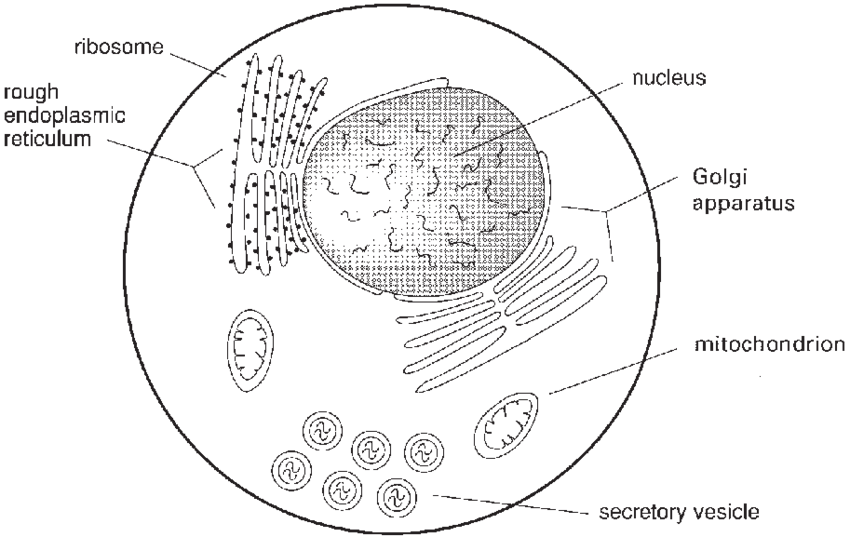 3 Schematic drawing of some of the subcellular organelles