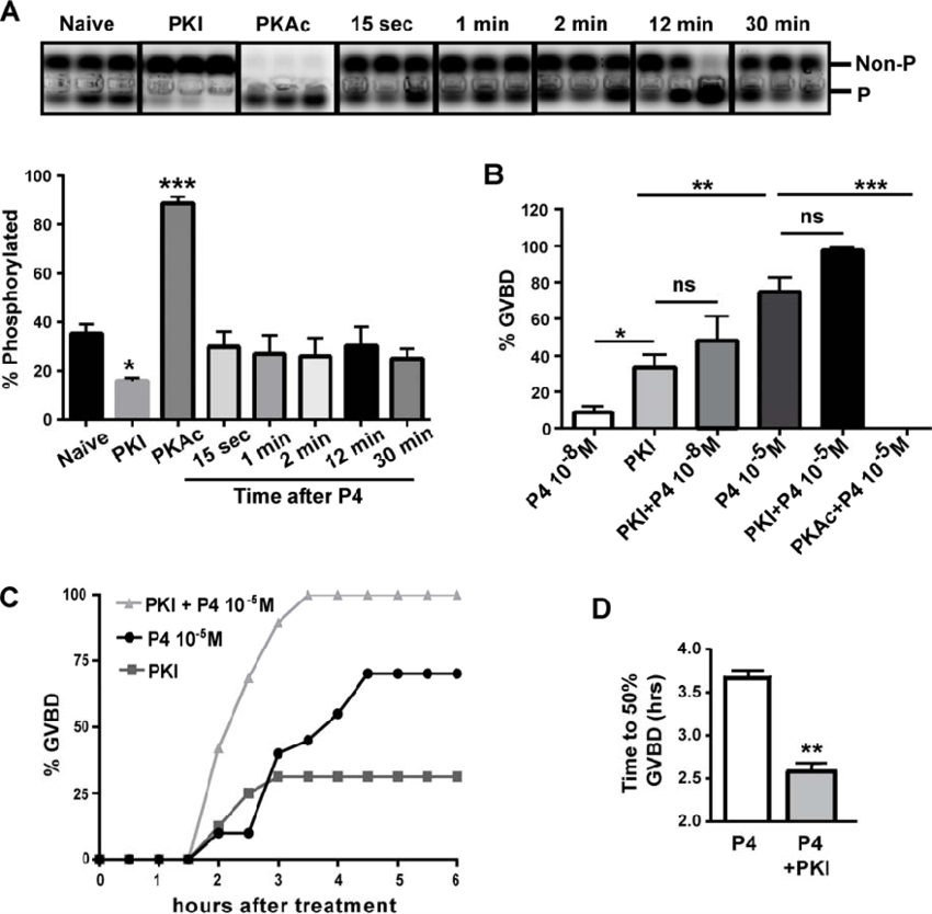 P4 does not affect PKA kinase activity. A) Oocytes were