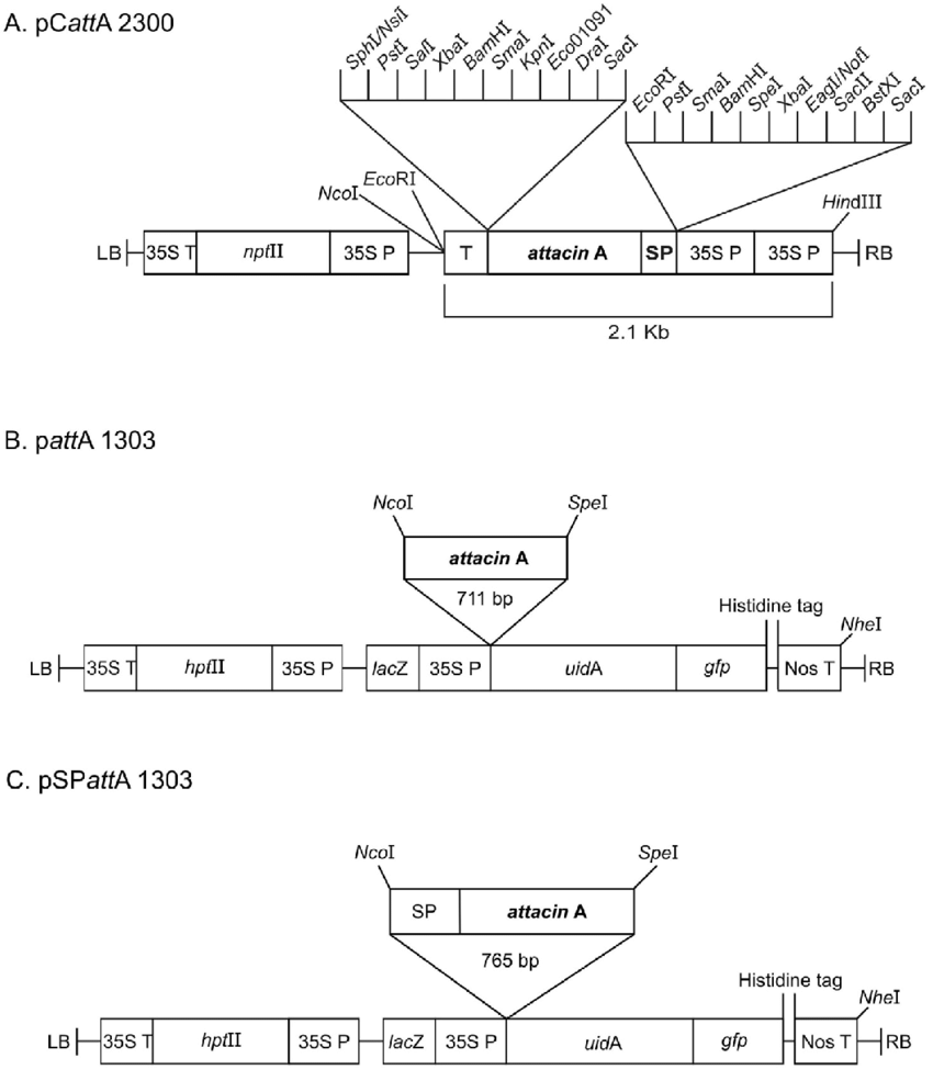 hight resolution of schematic representation of gene constructions used for genetic transformation pcatta 2300 binary vector a used for agrobacterium tumefaciens mediated