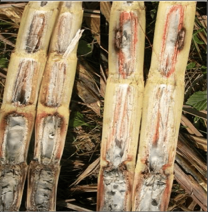 Status Of Sugarcane Wilt One Hundred Years After Its Occurrence In India Pdf Download Available