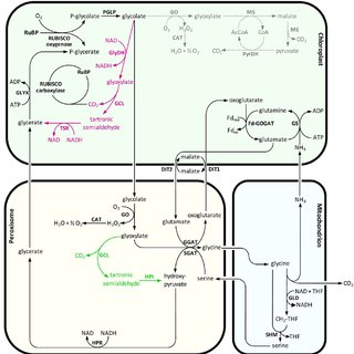 Schematic overview of photosynthesis and photorespiration