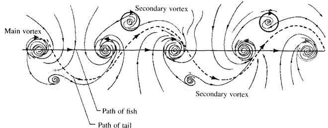 Idealised vortex pattern of swimming fish [ [ [ [from