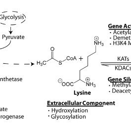 Lysine acetyltransferases involved in acetylating histone