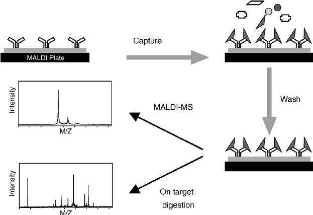 peptide structure diagram simple circuit 300zx schematic of on-target immunoaffinity capture maldi-ms... | download scientific