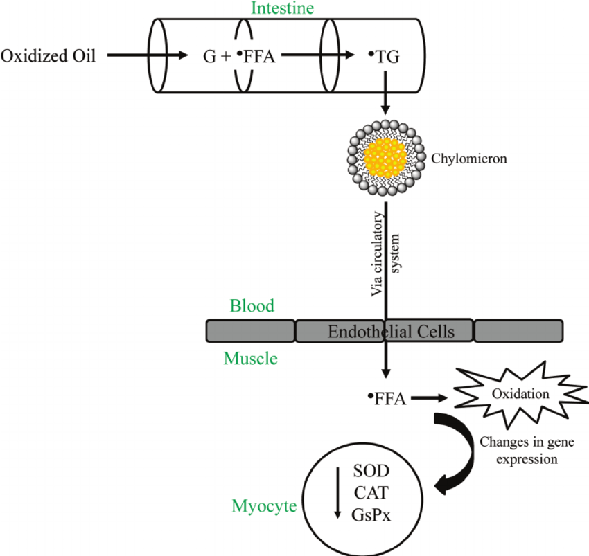 Schematic diagram of the mechanism of dietary oxidized oil