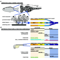 Kidney Nephron Structure Diagram Rheem Electric Water Heater Thermostat Wiring Anatomy In The Adult Zebrafish Schematic Drawings Of A And B Comparison Chart Segment Molecular