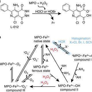 Biochemistry of MPO/ L-012 bioluminescence. (a) Reaction
