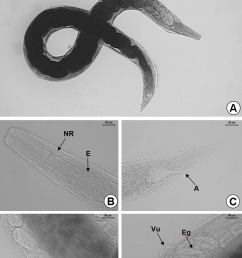 a general view of the partenogenetic female b detail of the esophagus e and nerve ring nr c anus a d vulva vu e larval  [ 850 x 1228 Pixel ]