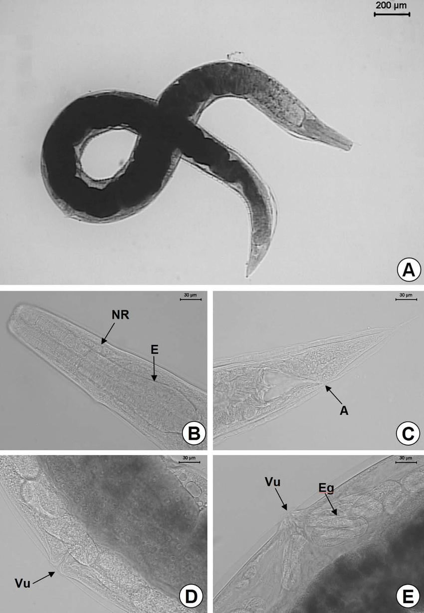 hight resolution of a general view of the partenogenetic female b detail of the esophagus e and nerve ring nr c anus a d vulva vu e larval