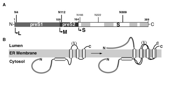 Domain structure and transmembrane topology of the HBV L