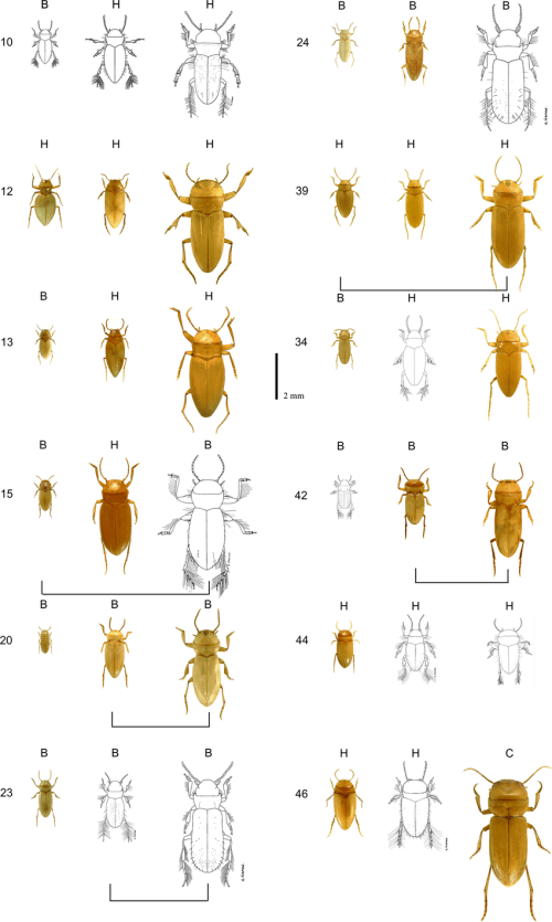 small resolution of communities consisting of triplets of blind diving beetle species found in different underground aquifers numbers