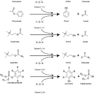 basic carboxylesterase hydrolysis reaction. Carboxylesters