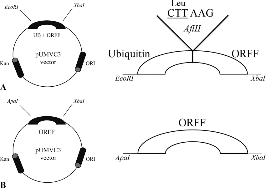 Schematic diagrams of nonubiquitin and ubiquitin-ORFF