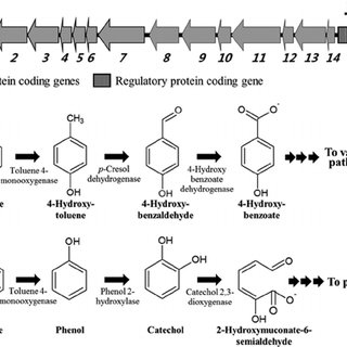 Physical map of the toluene/benzene degradation gene