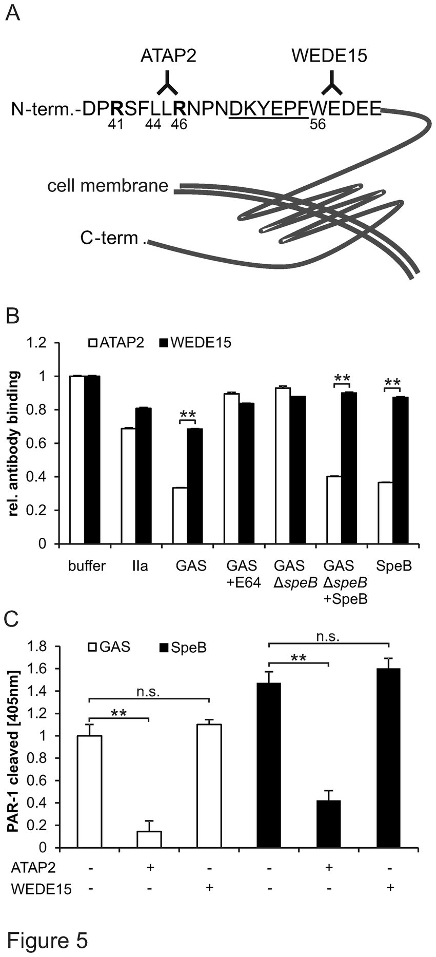 SpeB cleaved endogenous PAR-1 at the ATAP2 epitope and