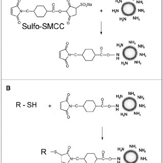 (A) Introduction of maleimide groups to the surface of