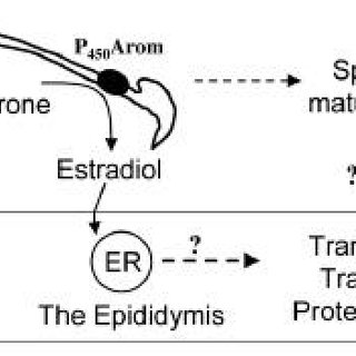 Anatomy of the reproductive tract of the male tammar