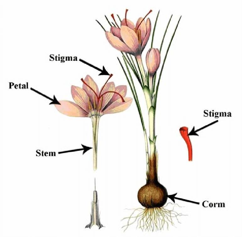 parts of a flowering plant diagram 6 pin dpdt switch wiring different saffron crocus madan et al 1996