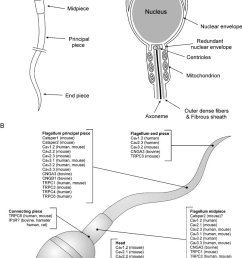 a diagram of human sperm sperm head and flagellum are composed of several [ 842 x 1268 Pixel ]