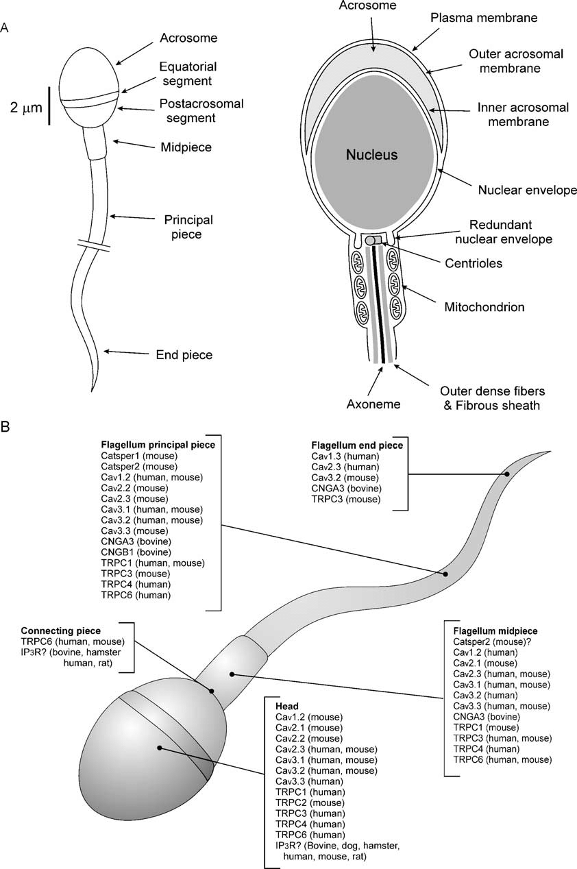 hight resolution of  a diagram of human sperm sperm head and flagellum are composed of several