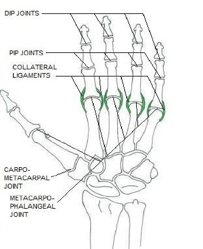 Bone joints of the hand (right hand in dorsal view