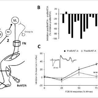 Mechanisms of botulinum neurotoxin type A (BoNT/A) action