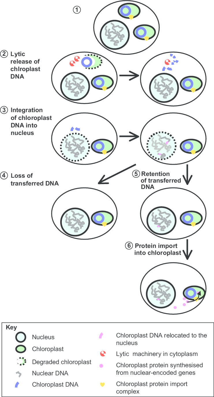 medium resolution of gene transfers from chloroplast to nucleus this diagram has been adapted from information in previous