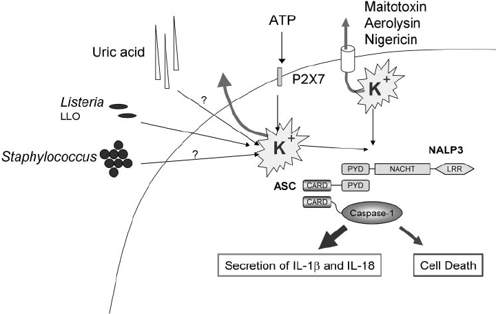 Activation of the NALP3 inflammasome by microbes, toxins