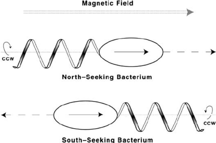 Transmission electron micrograph of Magnetospirillum