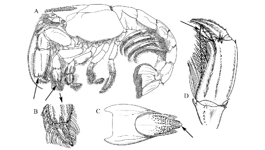 Upogebia affinis: (A) lateral view of whole animal; (B