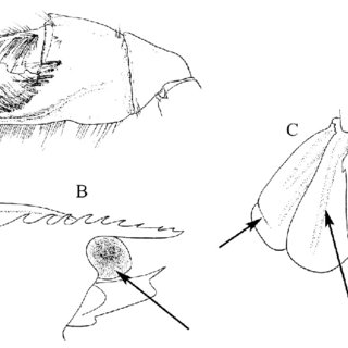 (A) Upogebia affinis : dorsal view of carapace showing