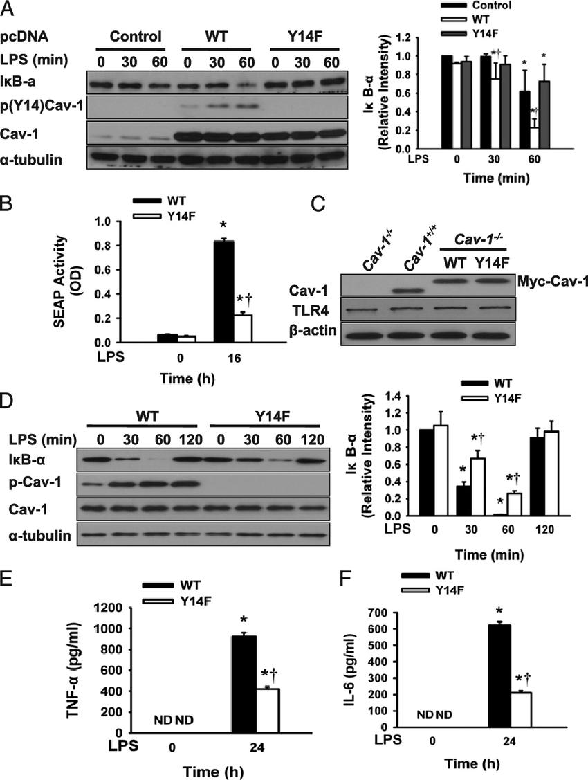 LPS-induced Cav-1 Tyr 14 phosphorylation mediates NF-kB