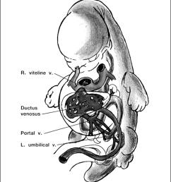 embryonic veins at the 8th week vitelline umbilical veins developmental process till [ 850 x 998 Pixel ]