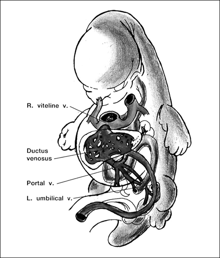 medium resolution of  embryonic veins at the 8th week vitelline umbilical veins developmental process till