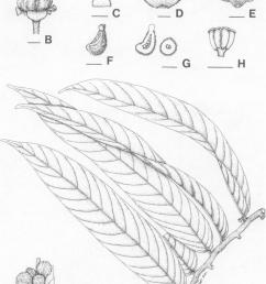 pseuduvaria cori cea a flowering branch b flower bud c sepal d download scientific diagram [ 850 x 1179 Pixel ]