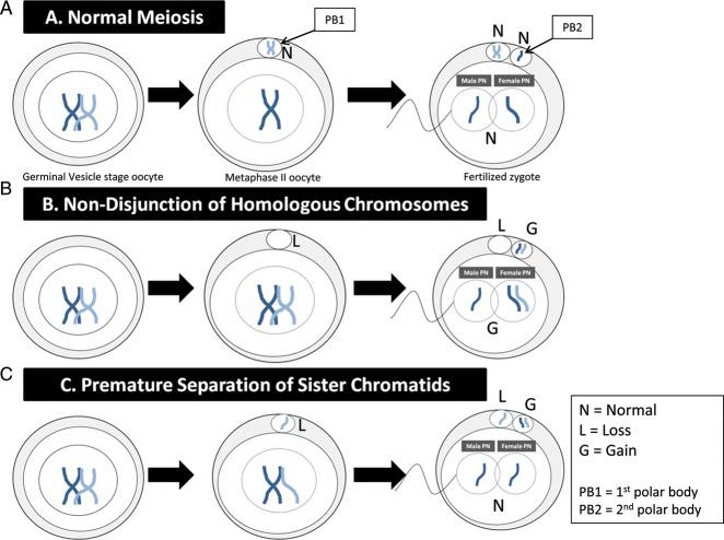 (A) Normal segregation (N) of homologous chromosome to