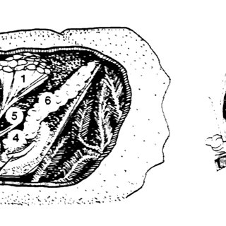 26. Metamorphosis. In each case, the last larval stage and
