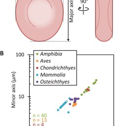 a diagram of erythrocyte measurements used to characterise their shape b correlation of erythrocyte major axis and minor axis from vertebrate hosts of  [ 750 x 1193 Pixel ]