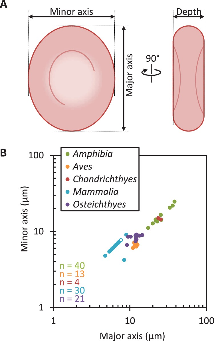 hight resolution of a diagram of erythrocyte measurements used to characterise their shape b correlation of erythrocyte major axis and minor axis from vertebrate hosts of