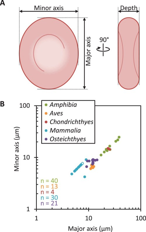 small resolution of a diagram of erythrocyte measurements used to characterise their shape b correlation of erythrocyte major axis and minor axis from vertebrate hosts of