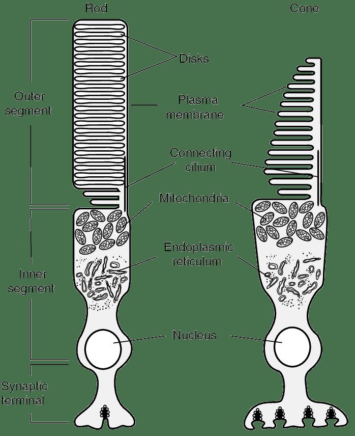 1 Schematic diagram of vertebrate rod and cone