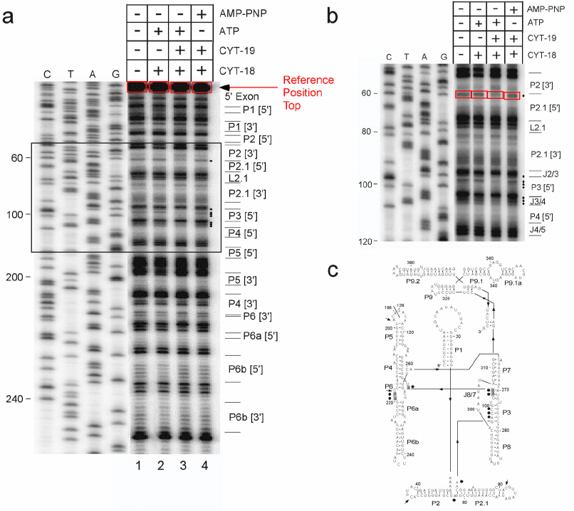 DMS footprinting of an RNA-protein complex and