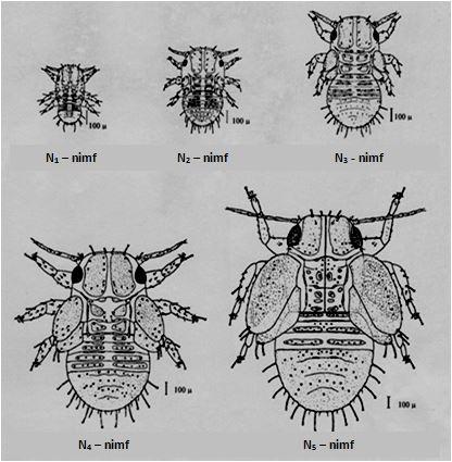 Figuur 2.2: De verschillende nimfale stadia van