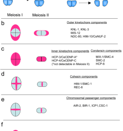 localization of kinetochore components on meiotic chromosomes a schematic showing the meiotic chromosomes during [ 850 x 1138 Pixel ]